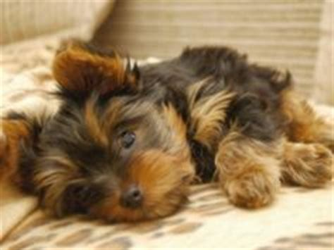 are yorkies hypoallergenic dogs 1000 images about hypoallergenic puppies on small hypoallergenic dogs