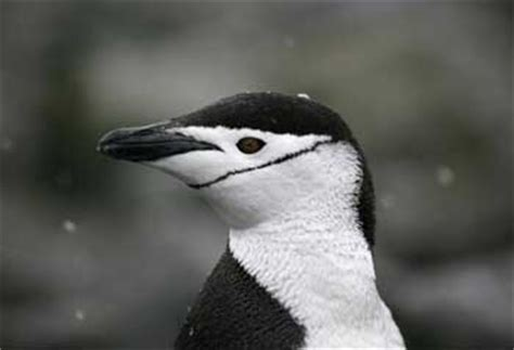 Chinstrap Penguin: The Animal Files