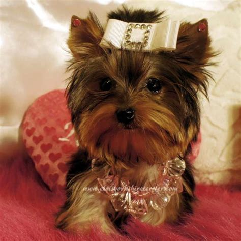adopt a teacup yorkie puppy teacup yorkie puppies for sale adopt yorkies elvis breeds picture