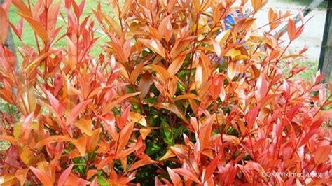 membuat lu hias pohon tanaman pucuk merah meneduhkan pembudidaya 1
