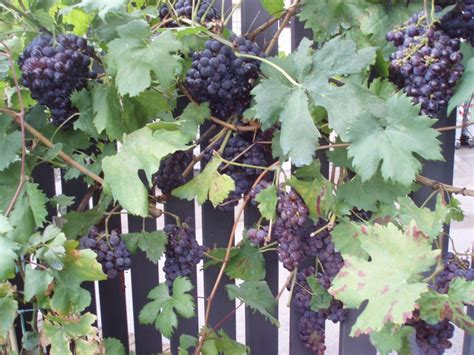 Backyard Grape Vine by Planted Grape Vines Along Fence Backyard Ideas