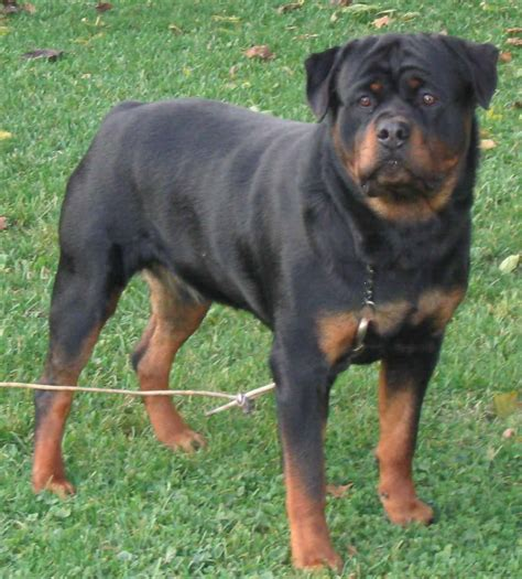 rottweiler dogs rottweiler on the grass photo and wallpaper beautiful rottweiler on the grass