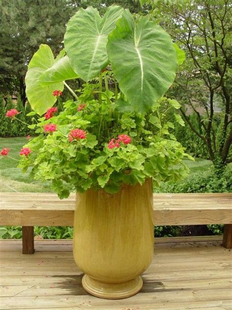 elephant ears and geraniums garden containers pinterest