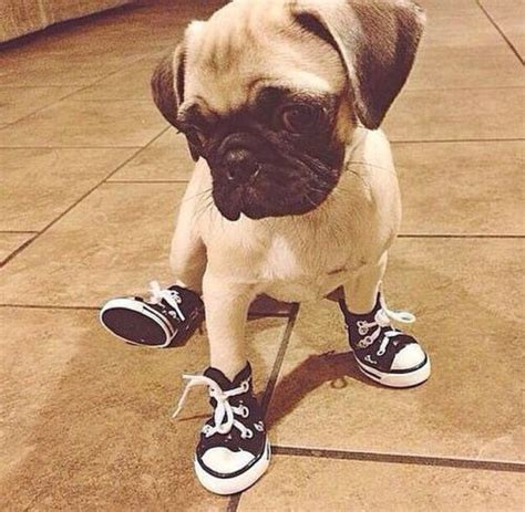 shoes for pugs adorable baby bug converse dogs new pug puppies puppy