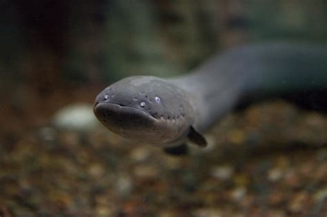 electric eel picture of the day electric eel