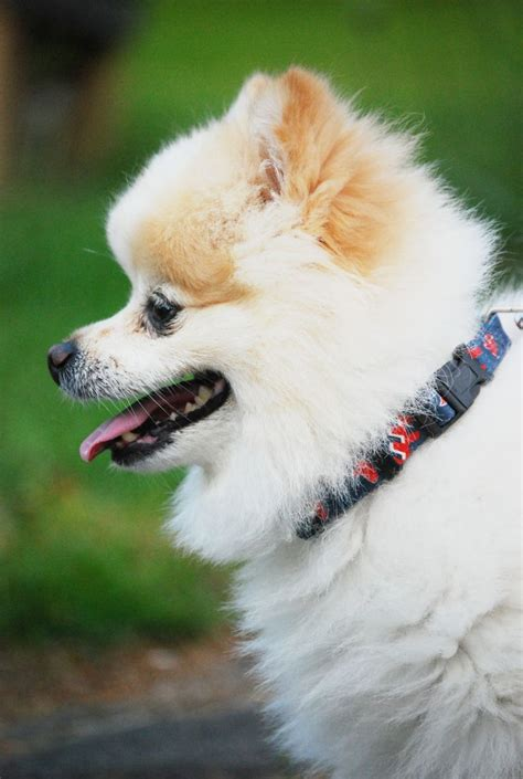 pomeranian collars 17 best images about dogloverstore s pomeranian teddy on models