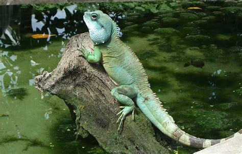 chinese water dragon facts  pictures reptile fact