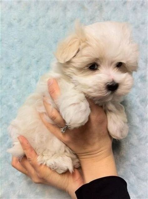 havanese and maltese mix havamalt havanese and maltese mix puppies galore juxtapost