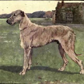 Wolfhound Shedding by 17 Best Images About Dogs And Cats On Wolves