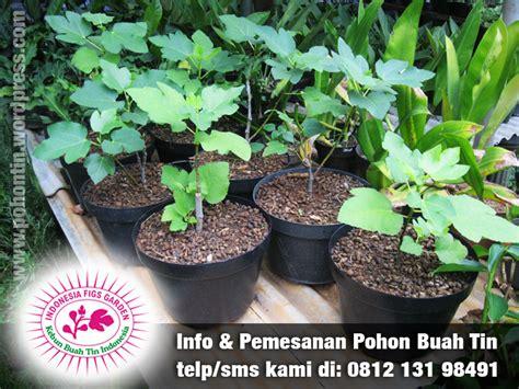 Jual Bibit Pohon Zaitun Jakarta gallery tin jual pohon tin 081213198491