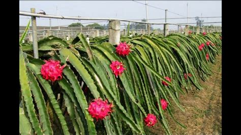 Bibit Buah Naga Banyuwangi 087 784 795 307 tempat jual buah naga merah banyuwangi