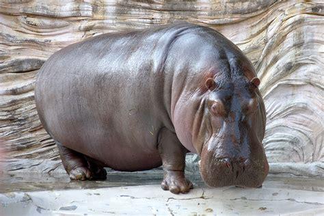 hippopotamus hippo 12 wallpaper 1800x1200 219346