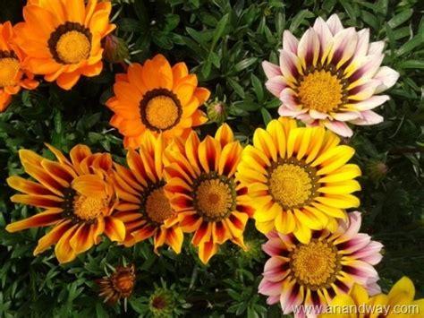 flower gardens in india gazania in indian garden lucknow photo journal
