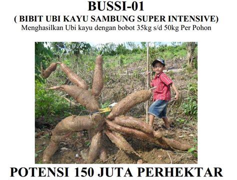 Bibit Ubi Kayu bussi bibit ubi kayu intensive budi daya tanaman