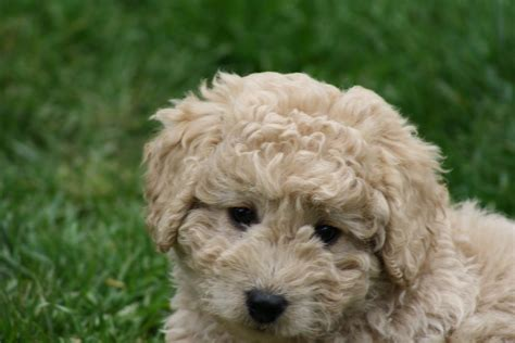 mini doodle seattle daisey s doodles seattle f1b miniatures are 9 weeks