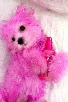 pomeranian hair dye 1000 images about pink on pink pink poodle and poodles