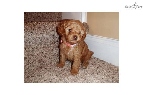 yorkies for sale in jacksonville nc yorkie poo breeders breeds picture