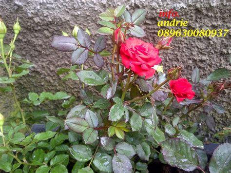 jual pohon bunga mawar murah tanaman bunga mawar