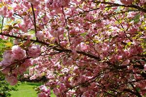 file flowering pink tree grass west virginia