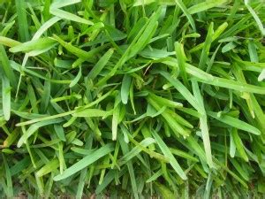 couch grass seeds for sale buffalo grass for sale sydney s top choice for lawns and