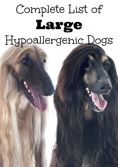 large hypoallergenic breeds 17 best ideas about hypoallergenic breed on hypoallergenic puppies