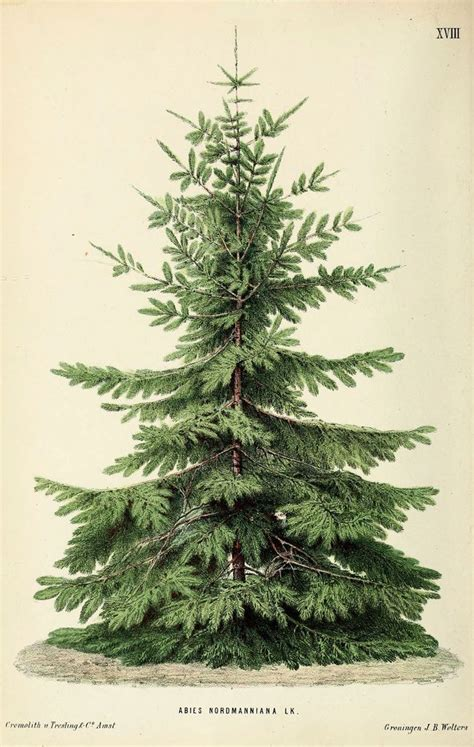 nordmann fir looks like the tree that charlie brown