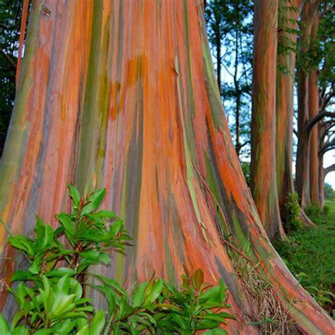 eucalyptus deglupta rainbow gum australian plants online