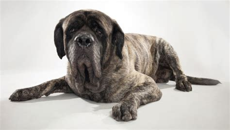 mastiff breeds mastiff breeds