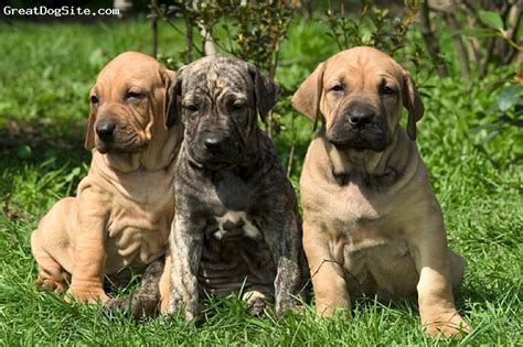 fila brasileiro puppies pin fila brasileiro puppy fighting pit bull mix on