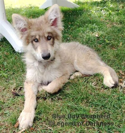blue bay shepherd puppies for sale best 25 blue german shepherd ideas on german shepherd pups jerman