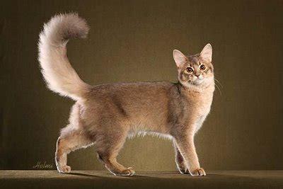 breed identification quiz cat breed identification proprofs quiz
