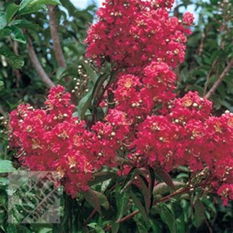 crape myrtle country lagin05br1218in the home depot
