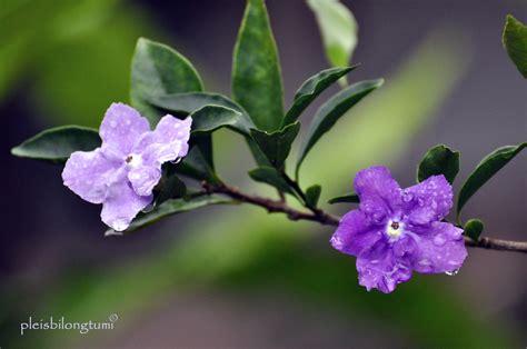 beauty  brunfelsia uniflora cigudeg pleis