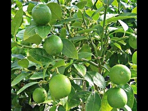 key lime tree natural home  sri lanka youtube