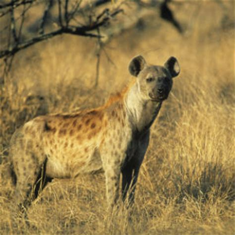 hyena spotted fascinating africa
