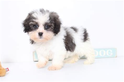 puppies for sale naples fl view ad shih poo puppy for sale florida naples usa