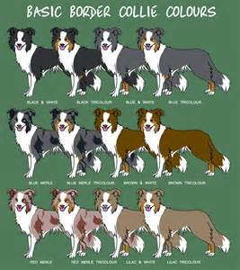 Border collie colors they also come in brindle and saddle
