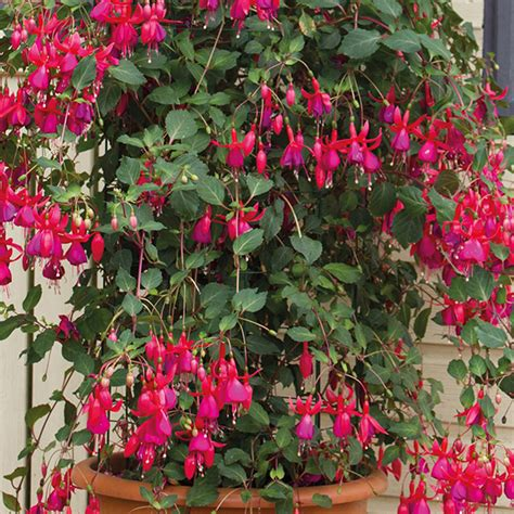 pink flowering climbing plants climbing fuchsia pink fizz flower plants from dt brown seeds