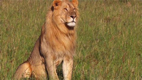 imagenes de animales leon image gallery leon animal salvaje