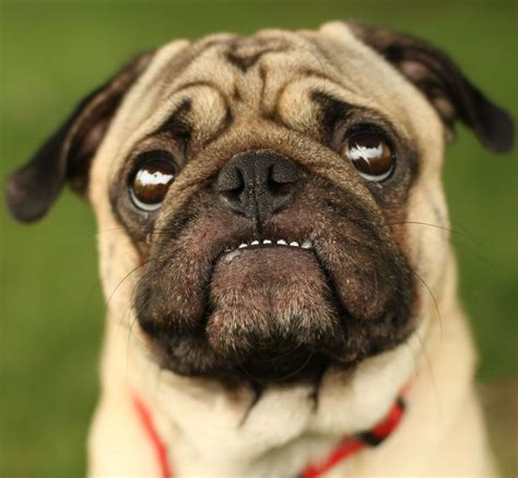 you pug great teeth you ve got lil pug pugs and peis
