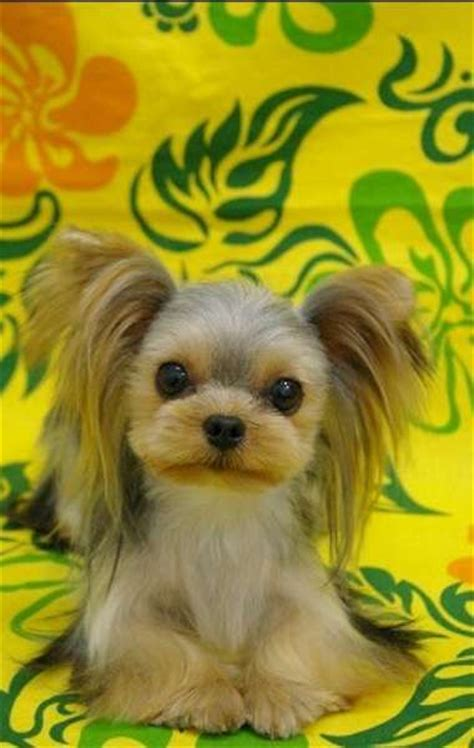yorkie hair cut chart 481 best images about dog grooming looks styles on