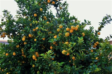 lemon tree bearing fruit free stock photo public domain