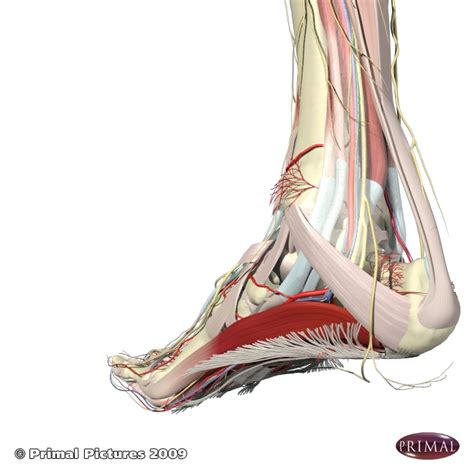 Arch Pain Foot Arch Muscles