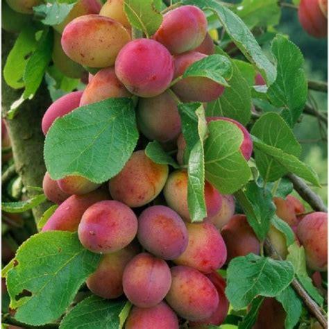 mini fruit trees 1x 3 4ft plum fruit tree mini fruit tree 5l