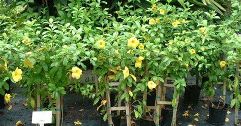 tanaman bunga rambat  unik  kanopi taman minimalis