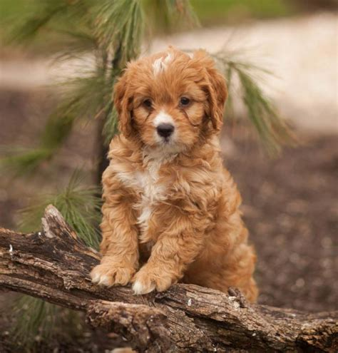 cavapoo puppies tennessee and cuddly cavapoo puppies craigspets