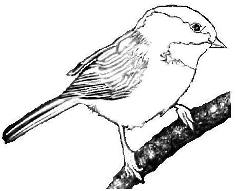 chickadee bird coloring page chickadee cliparts many interesting cliparts