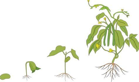 bean plant diagram a slight sneak peek at the cycle of a bean plant