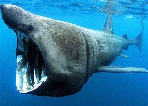 imagenes de animales jigantes image gallery tiburones gigantes