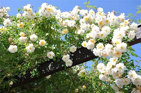 fiori ricanti resistenti al freddo fiori ricanti resistenti al freddo galleria di immagini